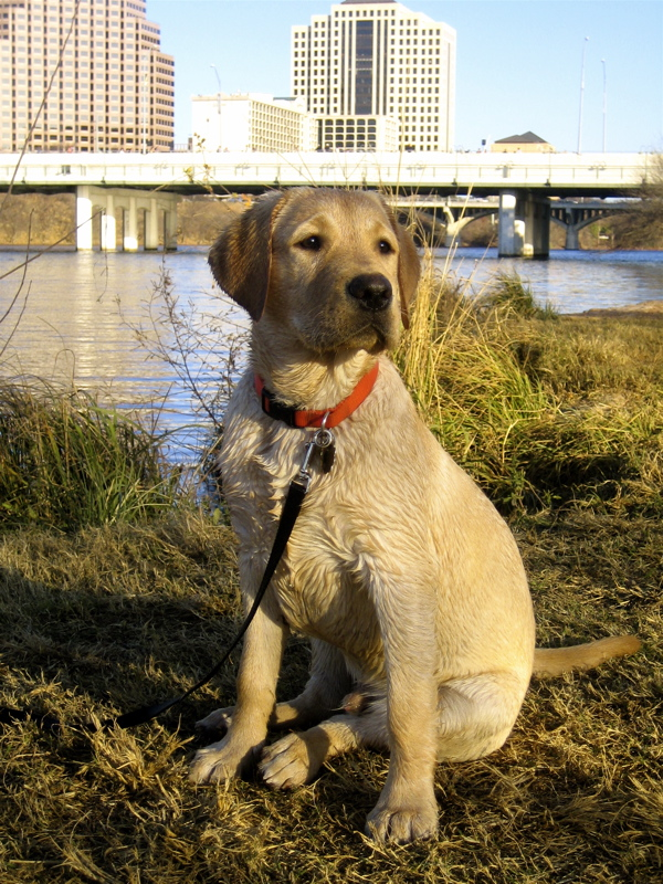 Yellow Labrador Retriever IMG_1095.JPG