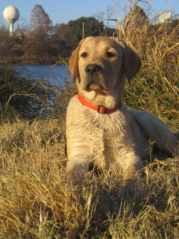 Yellow Labrador Retriever IMG_1108.JPG