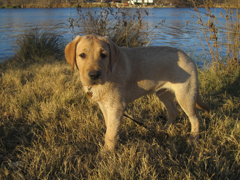 Yellow Labrador Retriever IMG_1114.JPG
