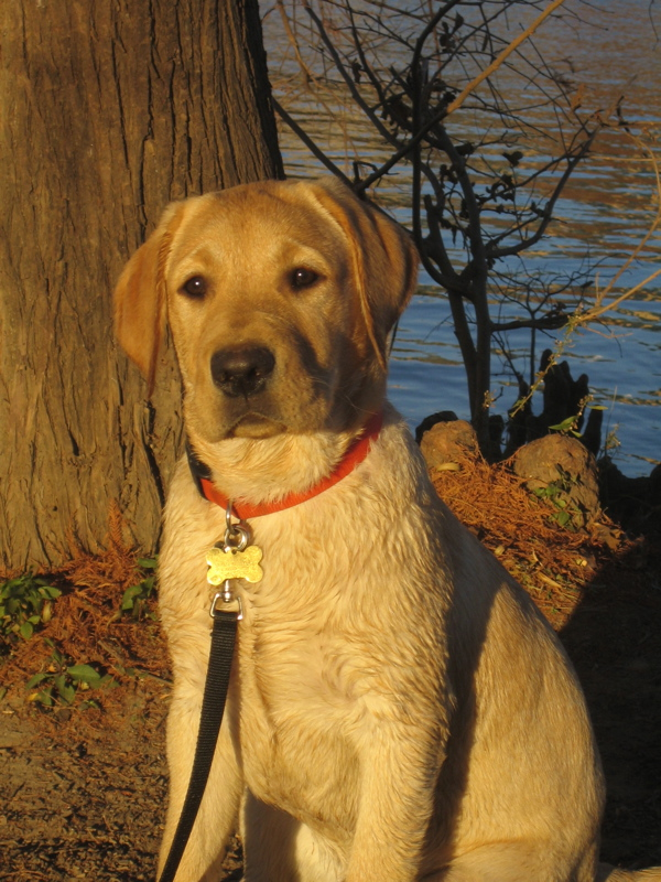 Yellow Labrador Retriever IMG_1119.JPG