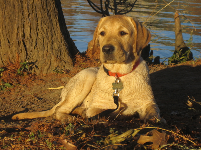 Yellow Labrador Retriever IMG_1128.JPG