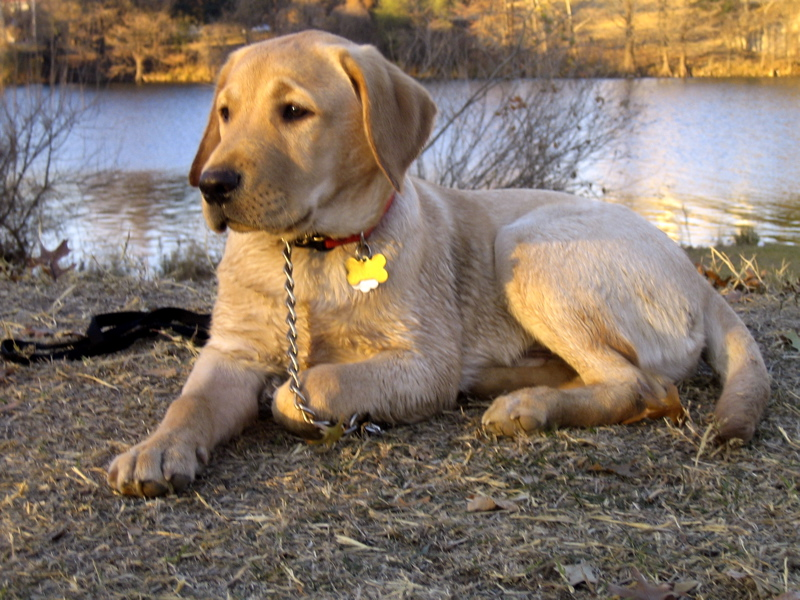 Yellow Labrador Retriever IMG_1132.JPG