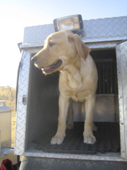 Yellow Lab IMG_1141.JPG