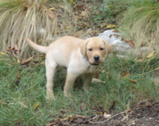 Yellow Lab_0634.JPG