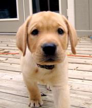 Yellow Lab_0635.JPG
