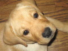 Yellow Lab_0656.JPG