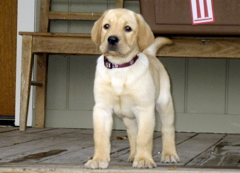 Yellow Lab_0661.JPG