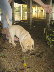 Yellow Lab_0666.JPG
