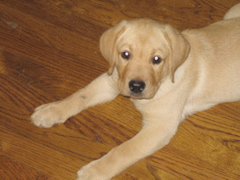 Yellow Lab_0681.JPG