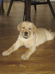 Yellow Lab_0682.JPG