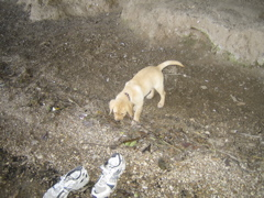 Yellow Lab_0733.JPG