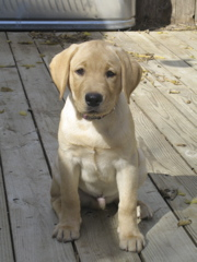 yellow lab IMG_0893.JPG