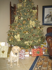 yellow lab IMG_1033
