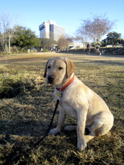 yellow lab IMG_1091.JPG