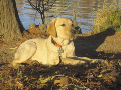 Yellow Lab IMG_1125.JPG