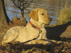 Yellow Lab IMG_1126.JPG