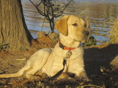 Yellow Lab IMG_1127.JPG
