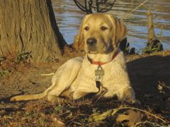 Yellow Lab IMG_1128.JPG
