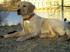 Yellow Lab IMG_1131.JPG
