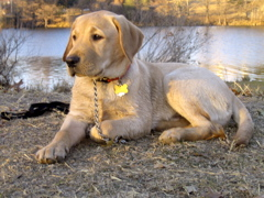 Yellow Lab IMG_1132.JPG