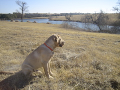 Yellow Lab IMG_1139.JPG