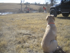 Yellow Lab IMG_1140.JPG