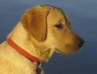 Yellow Lab side view